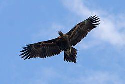 Aigle d'Australie — Wikipédia