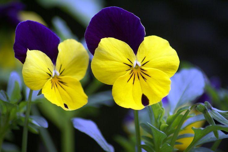 Árvácska, az őszi és tavaszi mosolygós szépség: a színgazdag, apró virágfejű árvácska még az enyhébb téli napokon is virágzik https://balkonada.hu/arvacska-az-oszi-es-tavaszi-mosolygos-szepseg/