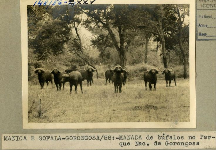 Josh Daskin is on the hunt for history. Read as he goes to Maputo to learn about Gorongosa from the 1950's-1970's:http://www.gorongosa.org/blog/bush-diaries/hunting-history