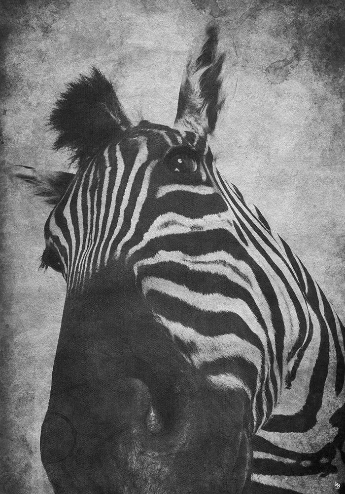 Super Lækker Zebra Plakat