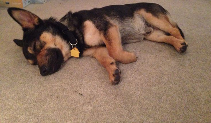 Corgi-German Shepherd mix