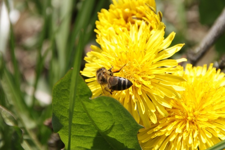 Bee on Yellow Dandelion Flowers - Public Domain Photos, Free Images for Commercial Use