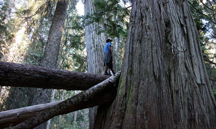 Ancient Cedars Trail - Easy hike near Whistler