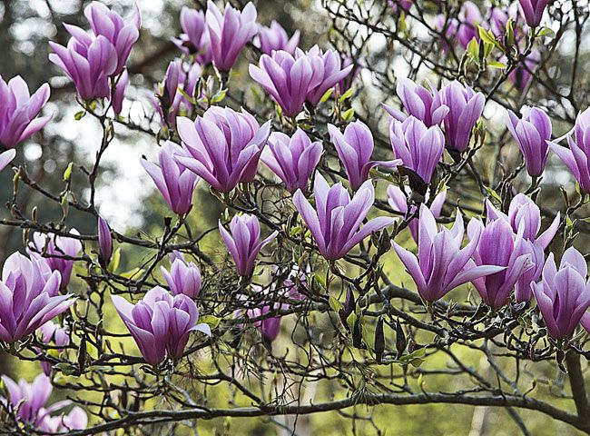 Quand et comment planter un magnolia dans son jardin ? en 2020   Graines de fleurs, Arbustes à ...