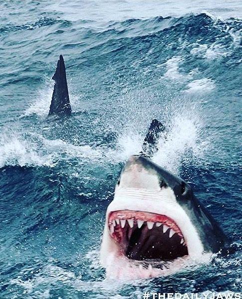 White Shark # frenzy