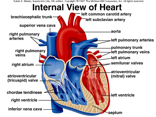 Anatomy of cardiovascular General Knowledge of Anatomy