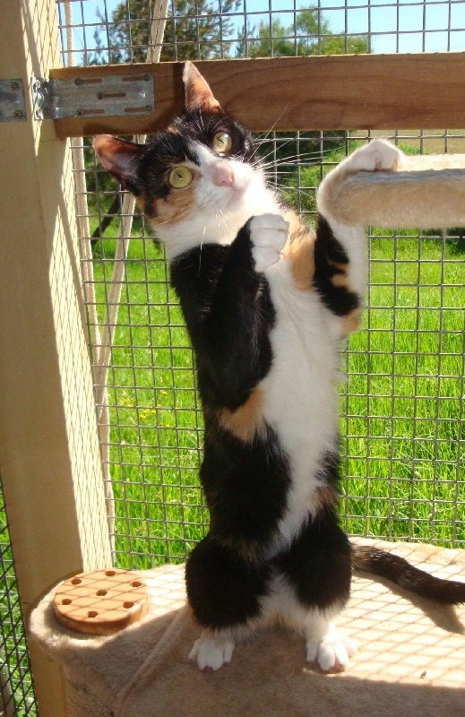 Soraya        2 year old female      Domestic Short Hair x      Moss Vale, NSW      ID: 896468    Comedian of the Year Award: Soraya is hilarious and keeps all the shelter staff in hysterics with her antics. She started off quite a shy little thing but is far from that now! She is your typical Torti – loves to run around crazily and play games but will also jump on your lap for a smooch. She is only a small girl but has proved ok with other friendly female cats.