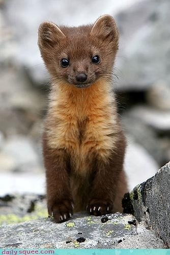 cute stoat I want one for my next pet