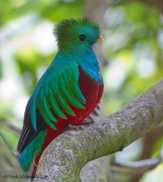 Resplendent Quetzal-a rare bird, an endangered species. Mayan sacred bird.