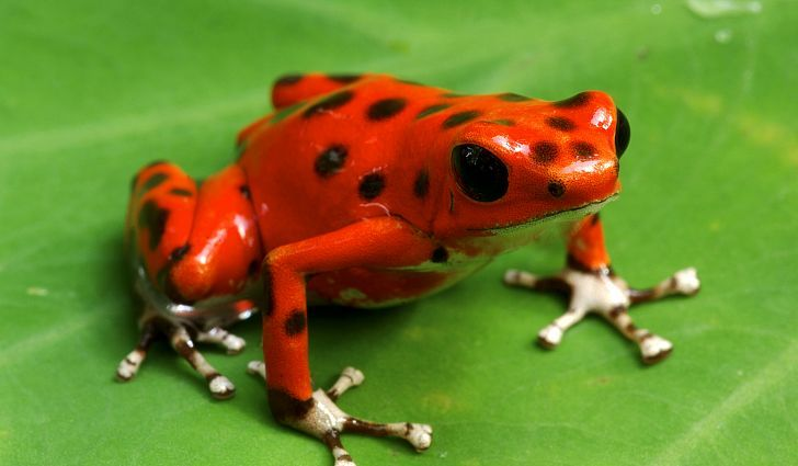 #4 Poison Dart Frog - What Animals Live In The Amazon Rainforest?