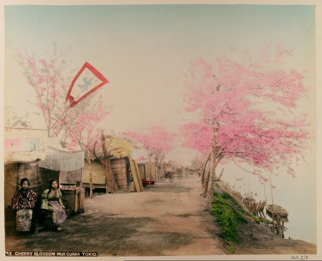 1865-1895 Tokyo. Scenery of Sakura.