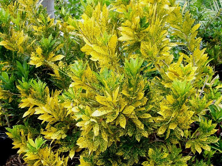 Garden Centre: AUREO MACULATUM The Synonym For This Croton Is Gold Dust
