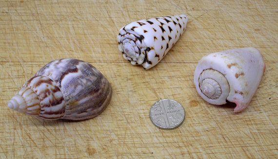 COQUILLES de mollusque GASTÉROPODE x 3 (prix de vente - était £5,99)  Trois jolies coquilles de mollusque. Deux cône de coquillages, une étant le cône marbré et une coquille d'escargot de terre africaine. Ajouter à votre collection de coquillage de mer, ou l'utiliser pour l'artisanat, décoration, bijoux ou dans un réservoir de poissons etc. Si vous utilisez pour votre aquarium, s'il vous plaît nettoyer et stériliser correctement avant de l'utiliser.  Pour montrer la taille des pièces, j'ai…