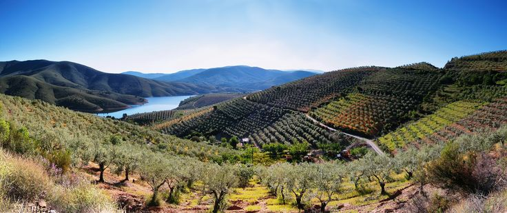 Olisitko osannut arvata,että oliivit kerätään puusta tällä menetelmällä