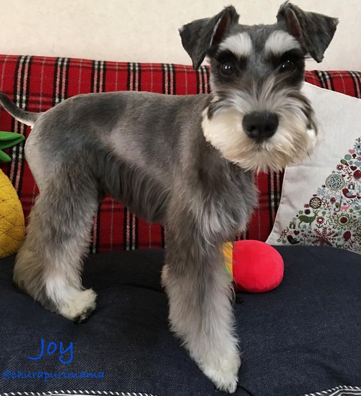 schnauzer haircut styles 1000 ideas about haircuts on japanese 2501