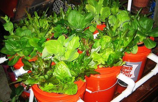 5 Gallon Bucket Aquaponics System - http://www.ecosnippets.com/gardening/5-gallon-bucket-aquaponics-system/