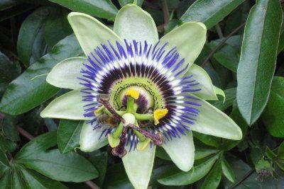 Bei guter Pflege entfaltet die Passionsblume ihr ganzes Potenzial.