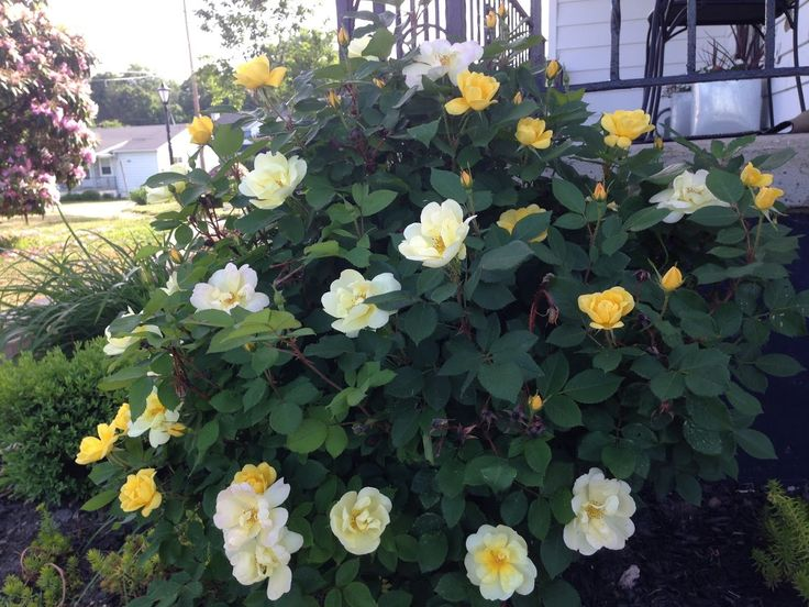 Double-Knockout Rose Bush - Landscape Layering: Perennial Shrubs