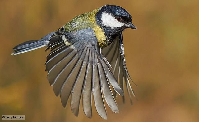 Great tits (Parus major) are colourful both in their plumage and their song. If the white cheek patches, yellow breast and black bib aren't enough for identification, the ringing 'tee-cher' or sharp 'tink tink' will be. Nests are made anywhere there is a hole, usually in a tree or box, but pipes and letter boxes have also been used.