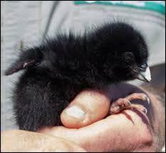 Takahe chick, New Zealand.