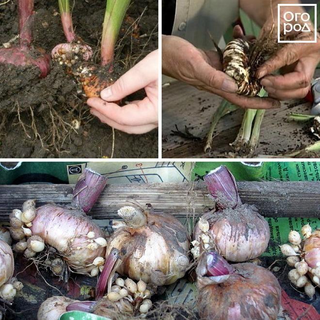 Гладиолусы – уборка и хранение луковиц до посадки | В цветнике (Огород.ru)