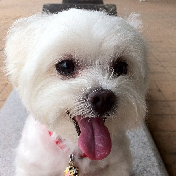 20 Best Malshi Haircuts Images On Pinterest Animals