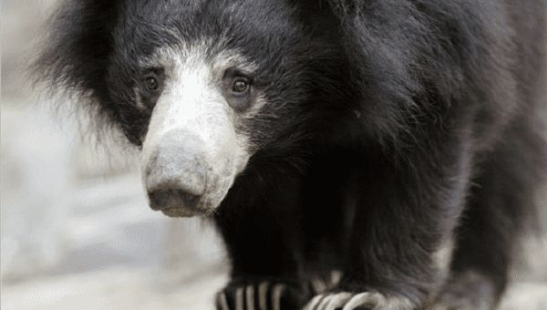 """Mary Hutton, the founder of Australian based Free the Bears, called the trade a """"cruel"""" and """"appalling business.""""Two sloth bears who were being exploited as """"dancing bears"""" were rescued in Nepal with the help of ajoint collaboration between Nepal's Jane Goodall Institute, World Animal Protection, and Nepali police."""