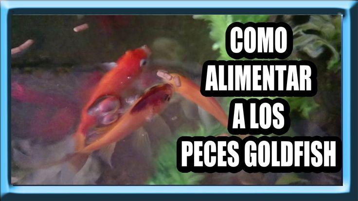 Como Alimentar Peces Goldfish