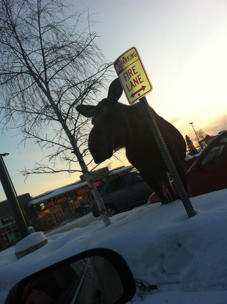 """Category: NATURE   """"Moose Parked in a No-Parking Zone"""" by Scott Willis, Easy Park Alaska, a division of Anchorage Community Development Authority, Anchorage"""