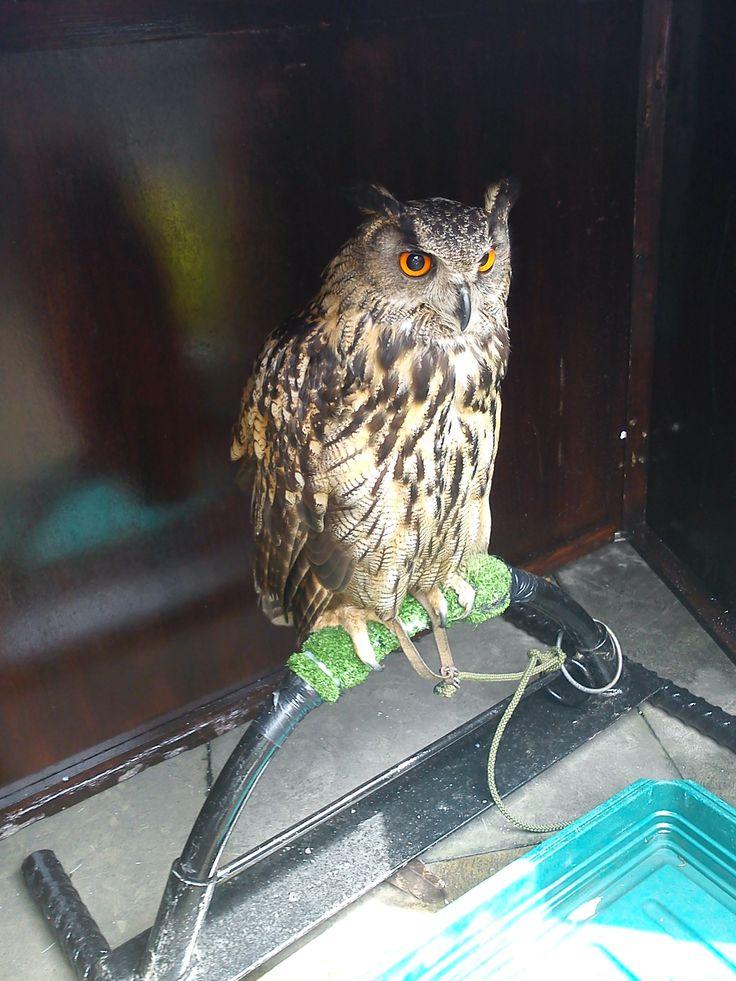 local owl
