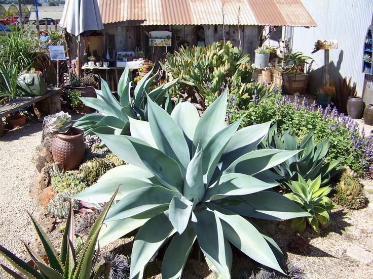 33 best images about 2014 succulent extravaganza at for Succulents that do well in shade