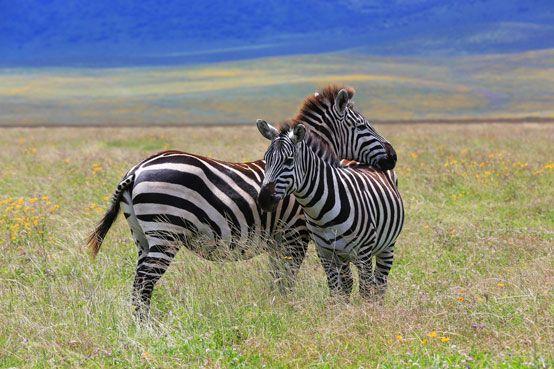 Zebra hug, Ngorongoro Crater, Tanzania