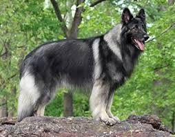 Resultado de imagen para shiloh shepherd puppies for sale