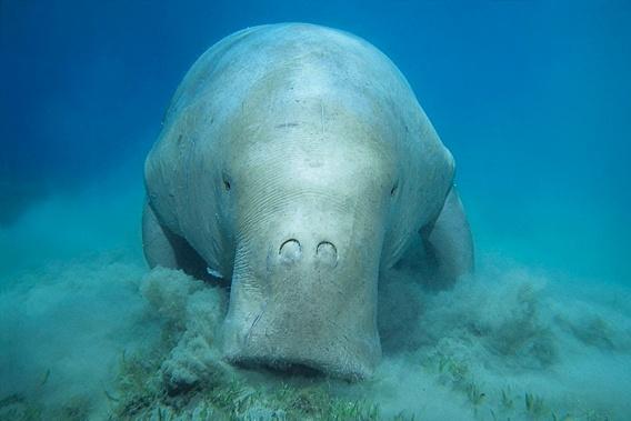 http://s3.amazonaws.com/mongabay-images/12/7-Dugong-coastal-east-Africa_GPN224980.568.jpg  www.sunsafaris.com  #mozambique #quirimbasarchipelago #beachholiday #destination #honeymoon #islandparadise #romance #relax #ocean #scubadive #marinereserve #conservation #matemoisland #vamiziisland #dugong #endangeredspecies