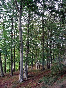Buk lesní (Fagus sylvatica) bukovité (Fagaceae)