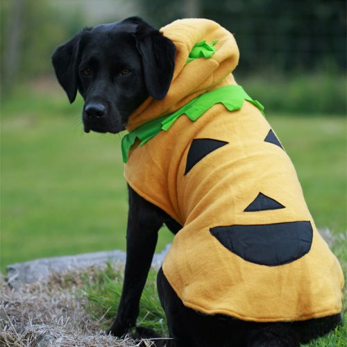New - Large Dog Halloween Costume.  Our Dog Pumpkin Costumes are now available for larger dog breeds.  Only at Canine & Co.  Easy to fit on and take off.  Fully lined with warm fleecy material.  Super soft and comfy.  Model is Black Lab and is wearing a Big Dog Size Large (also available in  Big Dog XL and Big Dog XXL).  Get yours now from:-  http://www.canineandco.co.uk/products/detail/dog_pumpkin_costume/439/  #LargeDogHalloweenCostume #LargeDogPumpkinCostume #Dogs #Halloween2014