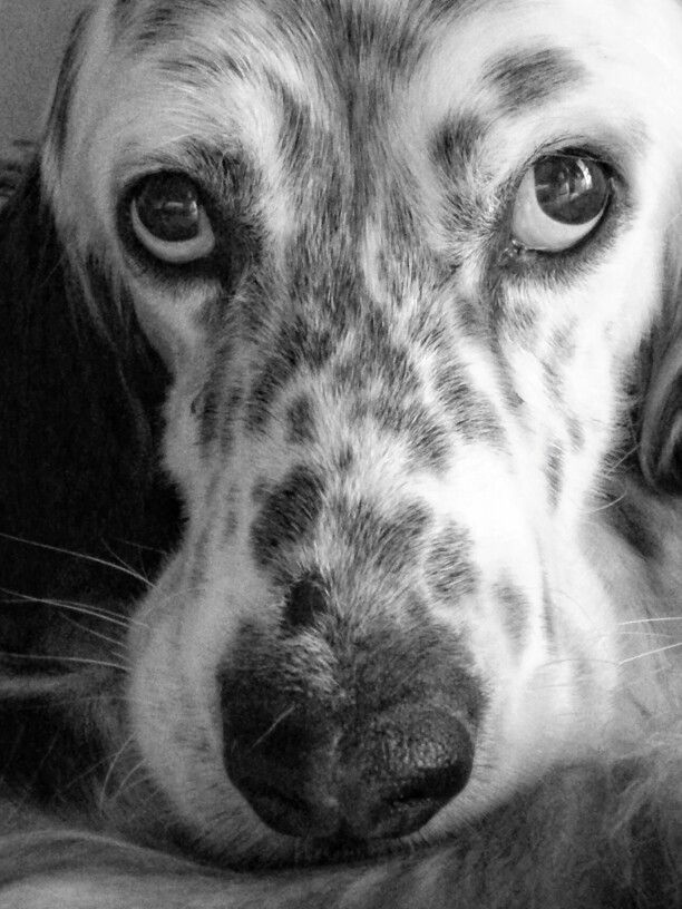 1000  ideas about english setters on pinterest