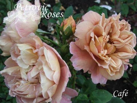 Café | Petrovic Roses
