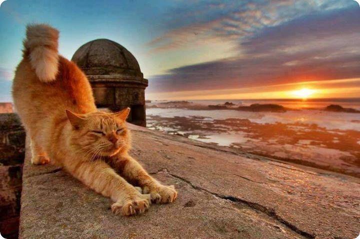 chat roux etire soleil couchant