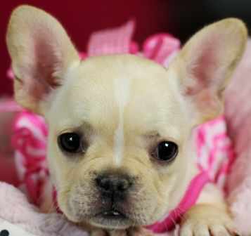 french bulldog allergies best 25 french bulldog mix ideas on pinterest french 8513
