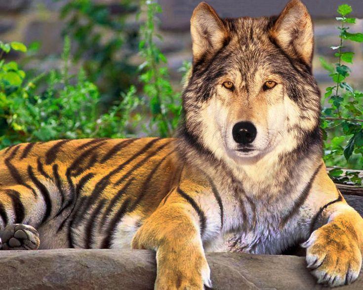 tiger/wolf LSU