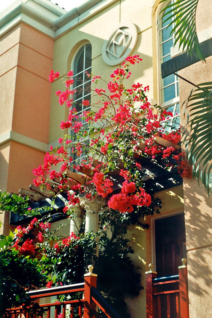 Bougainvillea in bloom on the side of an apartment in Mizner Park.