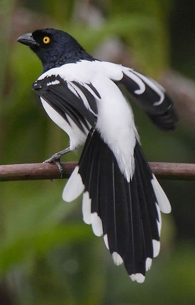 Magpie Tanager - The magpie tanager is a South American species of tanager. It is the only member of the monotypic genus Cissopis. As suggested by its common name, this blue-black and white species is superficially reminiscent of a European magpie.  NEW WORLD MAGPIE.
