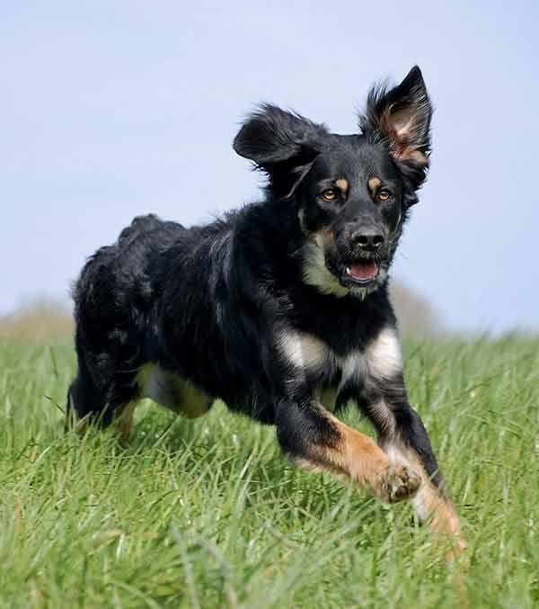 40 Dogs Mixed With German Shepherd