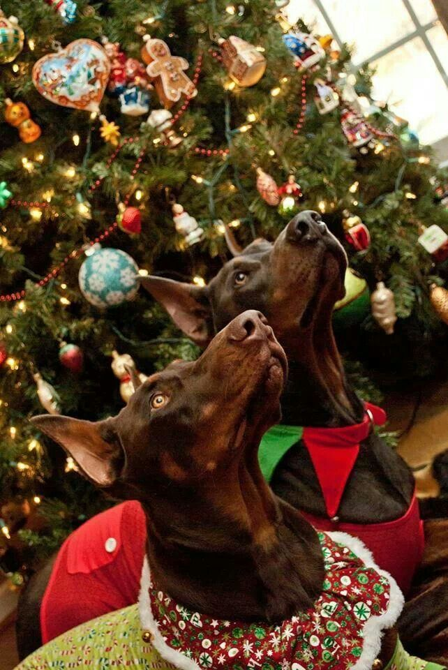Doberman Pinscher Merry Christmas Card Dobie Puppy Holiday Dogs Santa Claus Dog Puppies Pinschers