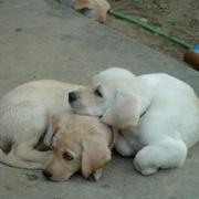labradors puppies!