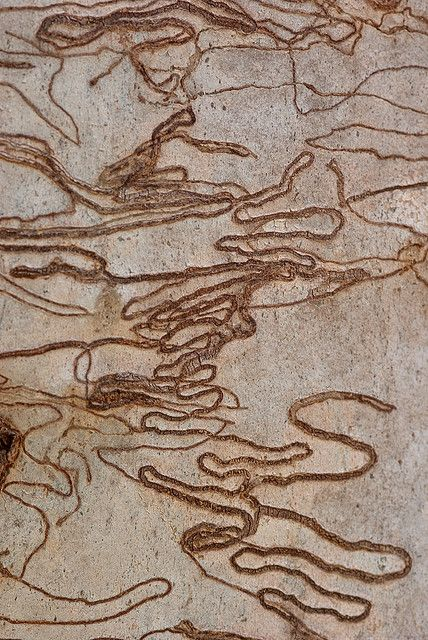 Scribbly Gum Tree Bark (Eucalyptus sclerophylla) by Craig Jewell Photography, via Flickr