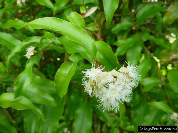 Aniseed Myrtle compliments of essentially Australia