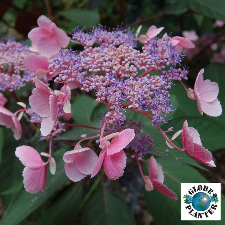 Rough-Leaved Hydrangea 'Hot Chocolate' (Hydrangea aspera)