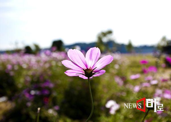<<주말 나들이 ´구리한강 코스모스공원´>>  매년 9~10월이면 구리시 한강변에는 코스모스가 만발해 아름다운 축제가 시작된다. 올해로 14번째를 맞는 구리시 한강 코스모스 축제가 지난주  성황리에  열렸다. 바람이라도 불면 살랑 거리는 코스모스는  장관을 이룬다.  인근 서울에서 현장 학습을 나온 유치원생들로 코스모스 꽃길에 초롱초롱한  눈망울들이 가득했다. 오후가 되면 나들이에 나선 가족들이 삼삼오오 모여들기 시작한다. 코스모스 앞에서 나도 모델이 되어 보기도 하고 나도 사진 작가가 되어 보기도 한다.삼일간의  축제 기간에 약 30만명이 다녀갔다고 한다. 도심 근교에서  또 다른 가을 향취를 느낄 수 있는 명소로 자리매김하고 있는 것이다. (구리한강시민공원 코스모스 축제장에서 © 뉴스바로 장덕수 기자  2014.10.9)
